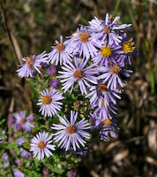 Amethyst Aster (Aster x amethystinus)
