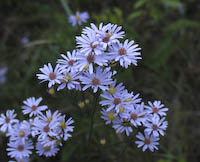 Aster, Azure (Symphyotrichum oolentangiense)