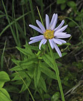 Bog Aster (Oclemena nemoralis)