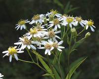 Aster, Flat-topped White (Doellingeria umbellata)
