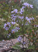 Aster, Fringed Blue (Symphyotrichum ciliolatum)