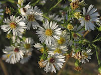 Frost Aster (Symphyotrichum pilosum)