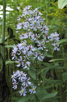 Aster, Heart-leaved (Symphyotrichum cordifolium)