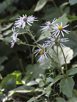 Aster, Large-leaved (Eurybia macrophylla)