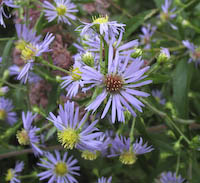 Aster, Purple-stemmed (Symphyotrichum puniceum)