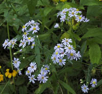 Aster, Smooth (Symphyotrichum laeve)