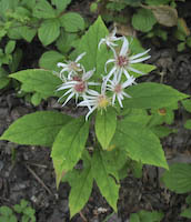 Aster, Whorled (Oclemena acuminata)