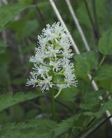 Baneberry, White (Actaea pachypoda)
