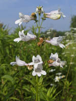 Beardtongue, Foxglove (Penstemon digitalis)