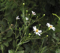 Rush Aster (Symphyotrichum boreale)