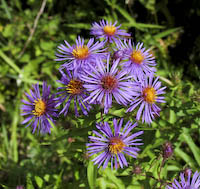 New England Aster (Symphyotrichum novae-angliae)