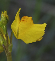 Bladderwort, Common (Utricularia vulgaris)