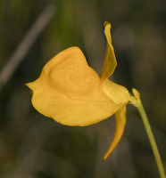 Bladderwort, Horned (Utricularia cornuta)