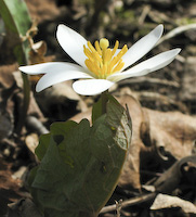 Bloodroot (Sanguinaria canadensis)