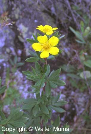 Shrubby Cinquefoil (Dasiphora floribunda)