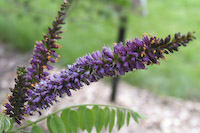 Indigo, False (Amorpha fruticosa)