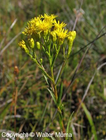 Houghton's Goldenrod (Oligoneuron houghtonii)