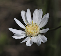 Upland White Aster (Solidago ptarmicoides)