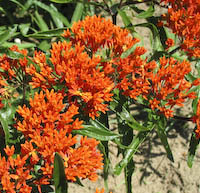 Milkweed, Butterfly (Asclepias tuberosa)