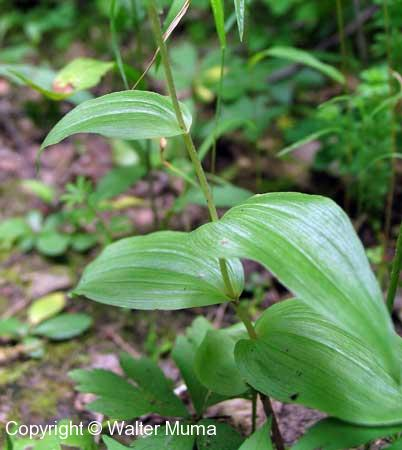 Helleborine (Epipactis helleborine) leaves