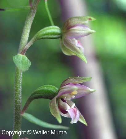 Helleborine (Epipactis helleborine) flowers