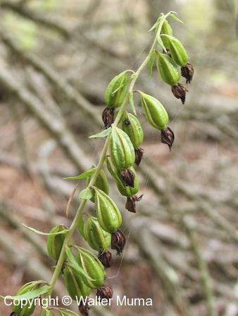 Helleborine (Epipactis helleborine) seed pods
