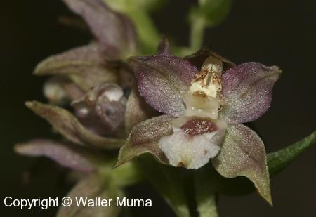 Helleborine (Epipactis helleborine) flower closeup