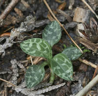 Rattlesnake Plantain, Dwarf (Goodyera repens)