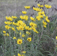 Sunflower, Maximilian (Helianthus maximilianii)