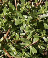 Purslane (Portulaca oleracea)