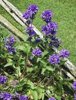 Bellflower, Clustered (Campanula glomerata)
