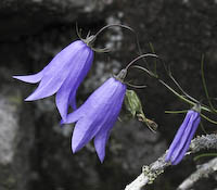 Harebell (Campanula rotundifolia)