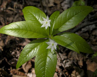 Starflower (Trientalis borealis)