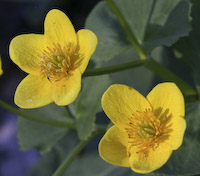 Marigold, Marsh (Caltha palustris)