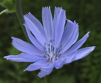 Chicory (Cichorium intybus)