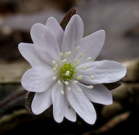 Hepatica, Sharp-lobed (Anemone acutiloba)