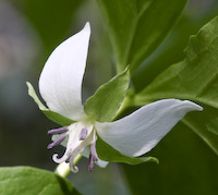 Trillium, Nodding (Trillium cernuum)