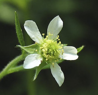 Avens, White (Geum canadense)