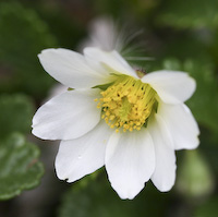 Avens, Drummond's Mountain (Dryas drummondii)