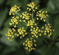 Alexanders, Golden (Zizia aurea)