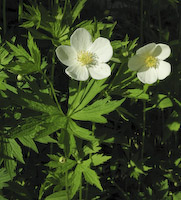 Anemone, Canada (Anemone canadensis)