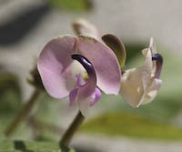 Bean, Trailing Wild (Strophostyles helvola)