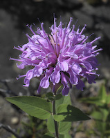 Wild Bergamot (Monarda fistulosa)