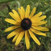 Black-eyed Susan (Rudbeckia hirta)