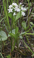 Buckbean (Menyanthes trifoliata)
