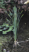 Cattail, Common (Typha latifolia)