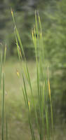Cattail, Narrow-leaved (Typha angustifolia)