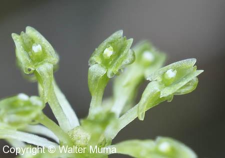 Green Adder's Mouth (Malaxis unifolia) flowers closeup