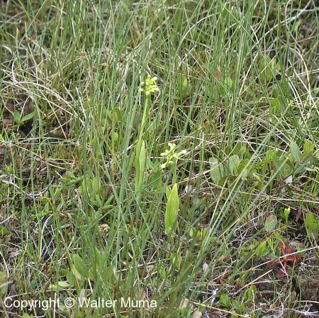 Club Spur Orchid (Platanthera clavellata) plants