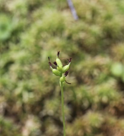Club Spur Orchid (Platanthera clavellata) seed pods
